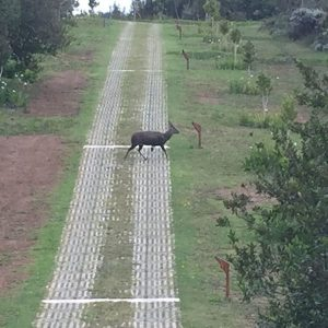 bushbuck-crossing-yfr-entrance-road